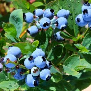Want to Live Longer? Eat Blueberries!